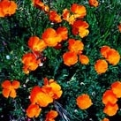 California poppies - Click for more photos